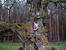 Памятник природы 800-летняя липа Богдана Хмельницкого