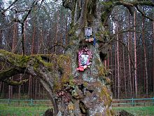 Пам'ятник природи 800-річна липа Богдана Хмельницького