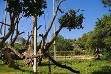Єдина зелена гілка дуба-довгожителя в Запоріжжі