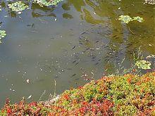 Соколиный пруд в уманской Софиевке