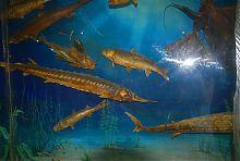 Морська фауна Азовського моря в краєзнавчому музеї Бердянська