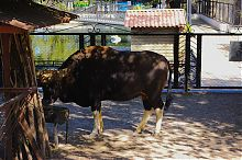 Гаур в Докучаевском зоопарке