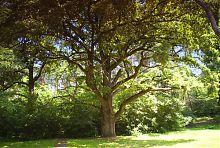 400-летний дуб в Натальевке