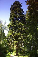 Ель в Краснокутском акклиматизированном саде