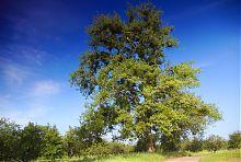 Стара тополя парку в Гиївській садибі