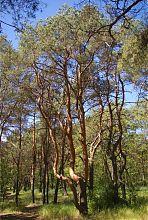 """Соснові культури природного парку """"Меотида"""" (між Юр'ївкою та Ялтою)"""