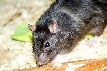 """Крыса бердянского зооклуба """"Неон"""""""