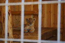 Левеня зоопарку Сафарі в Бердянську