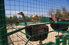 Страуси зоопарку Сафарі в Бердянську
