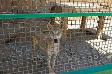 Вовк зоопарку Сафарі в Бердянську
