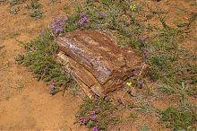 Закам'яніла араукарія в ландшафтному парку Клебан-Бик Олександро-Калинове