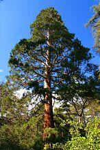 Сосна ботанічного саду в Нікіті