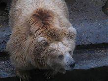 Медведь зоопарка в Николаеве