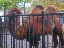 Двугорбый верблюд в зоопарке Николаева