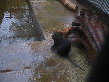 Черная нутрия Николаевского зоопарка