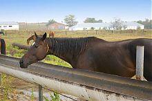 Кінь мангушської конеферми